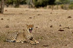 Cheetah gapend