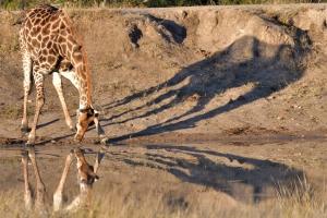 Drinkende giraf met spiegelbeeld en schaduw