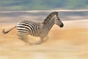 zebra in galop