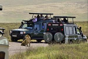 Close-up van leeuw in de Ngorongoro krater