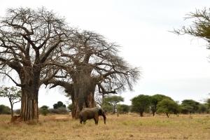 Olifant in Tarangire bij baobab