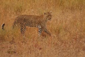 Luipaard in de Serengeti