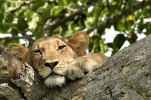 tree climbing lion Oeganda