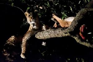 luipaard in boom met kill