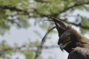 Long crested eagle (kuifarend)