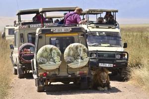 Leeuwen in de schaduw van jouw auto