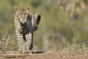 luipaard naar je toelopend