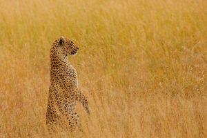 luipaard op de Serengeti Tanzania