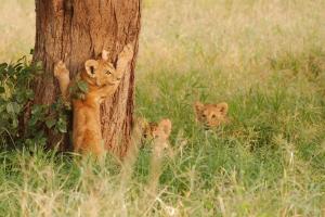 Spelende leeuwen welpen