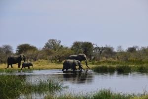 Olifanten in Botswana