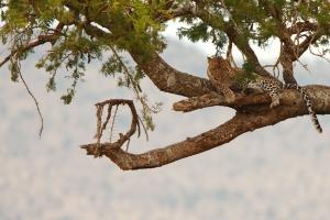 luipaard in de boom Tanzania
