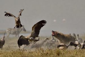 Hyena's en gieren vechten om de buit