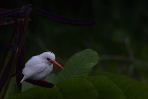 witte malachite kingfisher