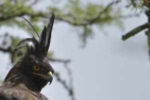 Long crested eagle (kuifarend) Oeganda