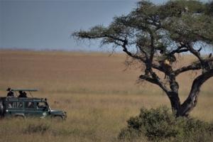 Reizigers zien leeuw in boom Tanzania