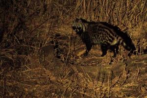 Civet kat avond safari Zambia