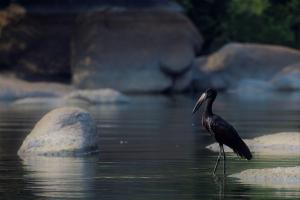 Open bill stork Kafue