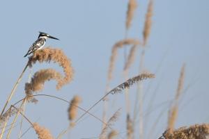 pied kingfisher in het riet