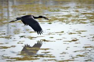 zwarte ibis die boven het water vliegt