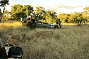 toeristen vlakbij leeuwen
