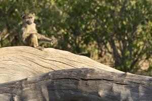 aap in het zonnetje op boomstronk