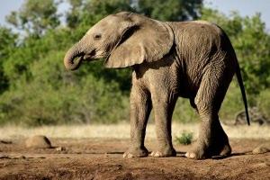 drinkende jonge olifant