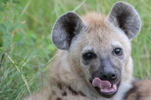 hyenaTanzania