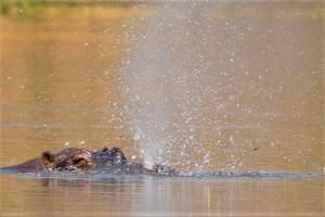 water spuitend nijlpaard