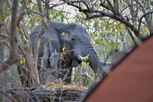 olifant naast je tent