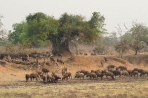 buffels in Zambia