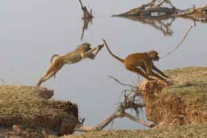 springende apen in Zambia