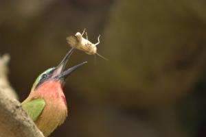 bee-eater met kill
