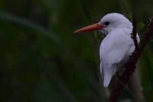 zeer zeldzame witte malachite ijsvogel