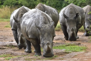 Neushoorns in Ziwa