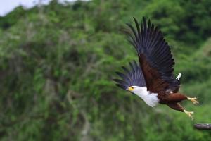 Fish Eagle die opvliegt