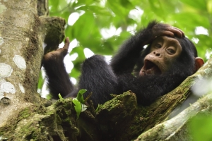 baby chimp in boom