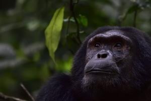 chimp in Kibale