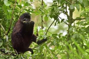 Monkey in Bigodi Swamp