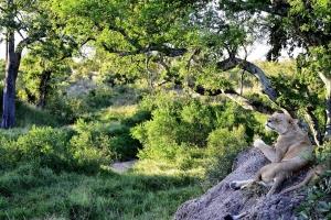 leeuwin genietend op rots