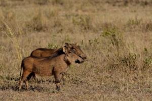 knobbelzwijn oftewel warthog