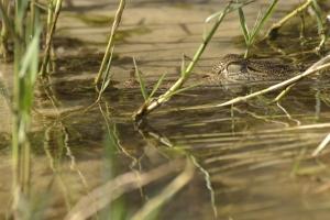 kleine krokodil vlakbij