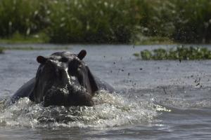 Boos nijlpaard