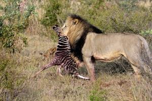 mannetjes leeuw met zebra kill
