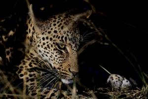 luipaard in het donker