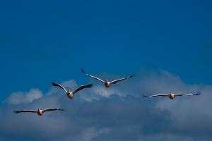 Pelikanen in de lucht