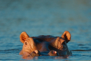 nijlpaard close-up