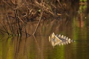 rug van krokodil in het water