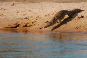 krokodil gaat het water in