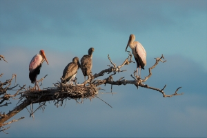 yellow billed storks op het nest