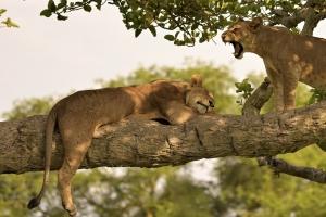 Tree climbing lions Ihasha